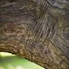 366-051 - Wrinkled Bark