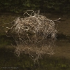 Tumbleweed in Water