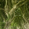 dark-hedges-007