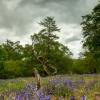 Bluebells in Carstramon