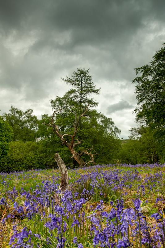 Bluebells-in-Carstramon