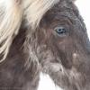 Horses at Snæfellsjökull