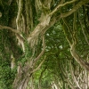 Dark Hedges - Canopy