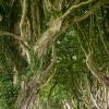 Dark Hedges - Canopy